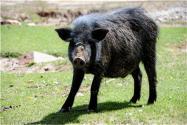 緩解豬價上漲壓力,四川、山東、廣東等地出臺鼓勵養豬惠農政策!