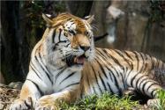 世界唯一虎獅虎獸寶寶滿百天!出生地在哪里?附詳情介紹!