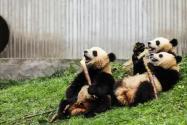 四川發現褪色小熊貓!具體是怎么回事?為什么會褪色?附詳情!