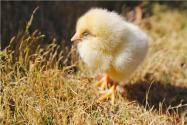 六千只被遺棄小雞死于馬德里機場!具體怎么回事?幸存小雞將如何處理?