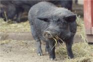黑豬仔價格怎么樣?養殖前景如何?