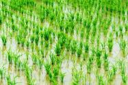 2020年種植雙季稻有農村直補嗎?補貼標準是多少?什么時候發放?