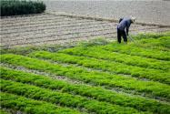 """大蒜目標價格保險惠農政策,1.9元/斤價格保險讓蒜農吃上""""定心丸"""""""