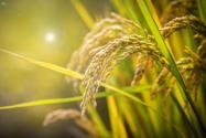 2018年都有哪些糧食直補?補貼標準分別為多少錢?具體發放時間是幾月?(附最新政策)