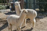 羊駝向人吐口水什么意思?養在家里臭嗎?