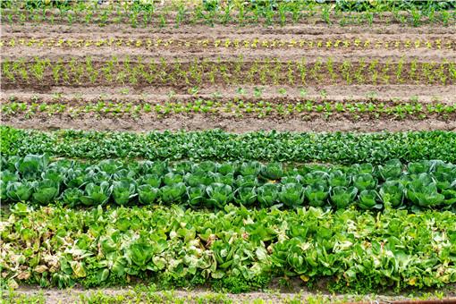 懒人菜种植大全-摄图网