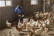 """雞品種""""九斤紅""""和""""九斤黃""""有什么區別?主要有這三大區別!"""