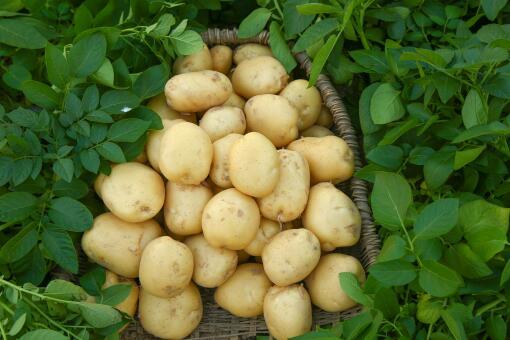 水培土豆要注意什么-摄图网