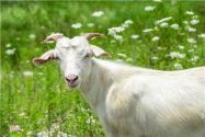 100只養羊棚設計圖怎么設計?100只羊建羊圈舍要多少錢?