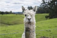 羊駝多少錢一只?羊駝的生活習性有哪些?