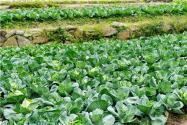 農作物防寒防凍措施有哪些?不同作物采取不同的方法!