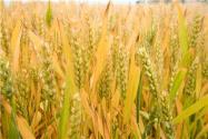 春小麥和冬小麥的區別是什么?什么時候播種什么時候收獲?