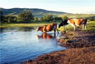 1500斤西門塔爾牛能出多少肉?西門塔爾牛一年長多少斤?