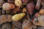 中藥材金果欖人工種植技術分析!如何提高金果欖產量?(附前景分析)