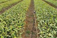 云南哪里有黃精種植基地?主要有哪些品種?