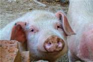 2021年養豬的市場前景如何?國家有什么補貼政策?