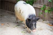 野豬肉多少錢一斤?附野豬飼養管理技巧!