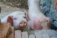 母豬人工配種步驟是什么?附母豬配種前注意事項!