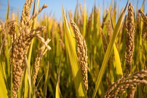承包土地搞水稻旱作種植市場前景怎么樣?產量如何?每畝收益多少錢?