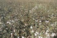 去新疆承包土地種棉花怎么樣?承包一畝地大概需要多少錢?
