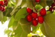2021年大連櫻桃幾月份成熟?多少錢一斤?