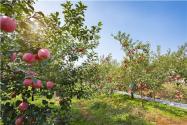 承包果園多少錢一畝?承包果園一年可以賺多少錢?