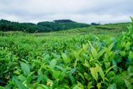 西雙版納現大規模毀林種茶!具體是怎么回事?附詳情!
