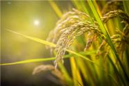2021年稻谷最低保護價格最新政策:今年水稻國家保護價多少錢一斤?