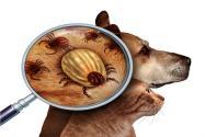 蜱蟲叮咬高發期!在狗身上怎么處理?咬人后有什么癥狀?