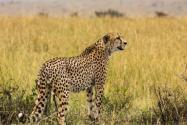 杭州野生動物世界3只金錢豹外逃!具體是怎么回事?附事件始末詳情!