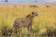 杭州第三只出逃豹子行蹤被發現!具體在哪發現的?附最新情況!