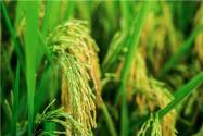 袁隆平超級雜交稻平均畝產1004.83公斤!具體什么情況?附詳情!