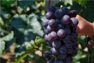 巨峰葡萄苗哪里正宗?它的種植方法和技術是怎樣的?