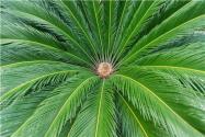 鐵樹開花多少年一次?意味著什么?附養殖方法和注意事項!