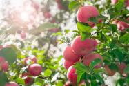 今年蘋果為什么滯銷?2021年蘋果價格走勢如何?附各地最新價格!