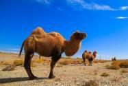 邊境駱駝戴上反光腿帶!具體是怎么回事?附詳細原因!