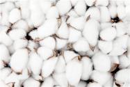 2021棉花價格最新行情:現在多少錢一斤?價格會上漲嗎?