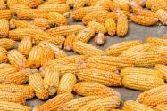 2021年9月份玉米多少錢一斤?能漲到1塊5嗎?附各地今日價格!