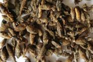 2021蟻獅價格多少錢一斤?一斤能賣30萬元是真的嗎?