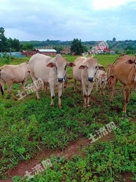 东南亚柬埔寨50000亩出租(1)